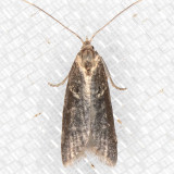 2312 (Lotisma trigonana)