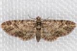 7460 (Eupithecia maestosa)