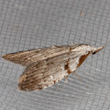 8993 Ceanothus Nola Moth (Nola minna)