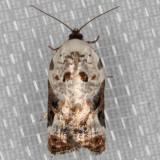 3510 Snowy-shouldered Acleris  (Acleris nivisellana)