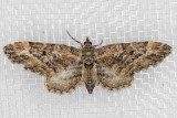 7496 (Eupithecia rotundopuncta)
