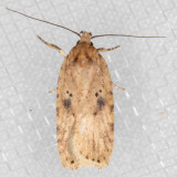 0878 (Agonopterix canadensis)(T)
