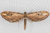 7587 (Eupithecia subapicata)