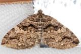 7329  Variable Carpet (Anticlea vasiliata)