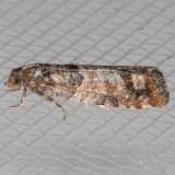 2903 Douglas-Fir Cone Moth  (Barbara colfaxiana)