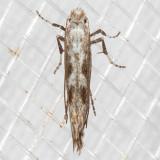 0678 (Parornix obliterella) (T)
