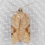 3515 (Acleris santacrucis)