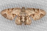 7650 Gray Scoopwing (Callizzia amorata)