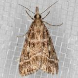4723 (Eudonia commortalis)