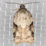 3523 (Acleris cornana)