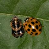 Beetles and Weevils