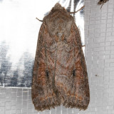 10307 Aster Cutworm (Trichordestra lilacina)