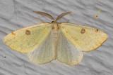 6431 Sulphur Moth (Hesperumia sulphuraria)