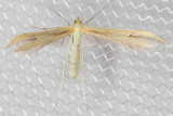 6206 Hellinsia pectodactylus (Hellinsia pectodactylus)