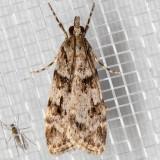 4716 (Scoparia biplagialis) Double-striped Scoparia Moth
