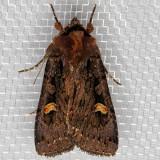 10991 Adelphagrotis indeterminata (Adelphagrotis indeterminata)