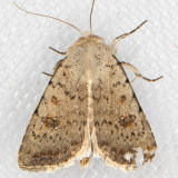 9656 Civil Rustic (Caradrina montana)