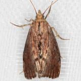 5622 Greater Wax Moth (Galleria mellonella)