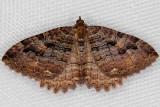 7285 Tissue Moth (Triphosa haesitata)