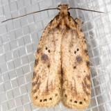 0878 (Agonopterix canadensis)