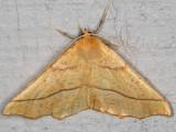 6954 October Thorn (Tetracis jubararia)
