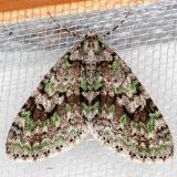 7637 Mottled Gray Carpet (Cladara limitaria)