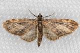 7476 (Eupithecia misturata)