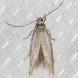 1680.99 Flower Moths, Scythrididae