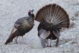 wild_turkey_16
