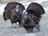 wild_turkey_17
