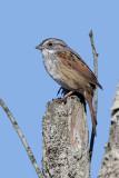 swamp_sparrow_30