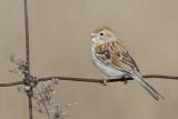 field_sparrow_38