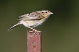 grasshopper_sparrow_105.jpg