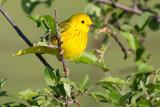 yellow_warbler_32