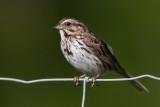 song_sparrow_101