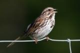 song_sparrow_102