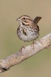 song sparrow 103