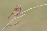 song sparrow 104