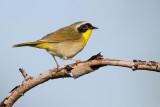 common yellow throat 30