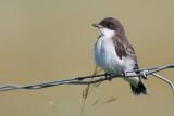 eastern kingbird - juvenile