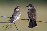 eastern kingbird 39