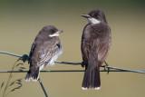 eastern kingbird 40