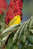 yellow warbler 33