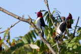 red headed woodpecker (adult and juvenile)