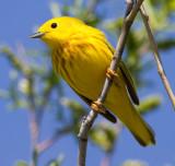 yellow warbler 32