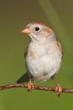 field sparrow 37