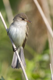 least flycatcher 9
