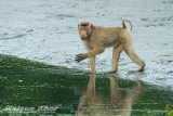 Southern Pig Tailed Macaque