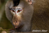 Northern Pig Tailed Macaque