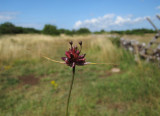 Backlök (Allium oleraceum)